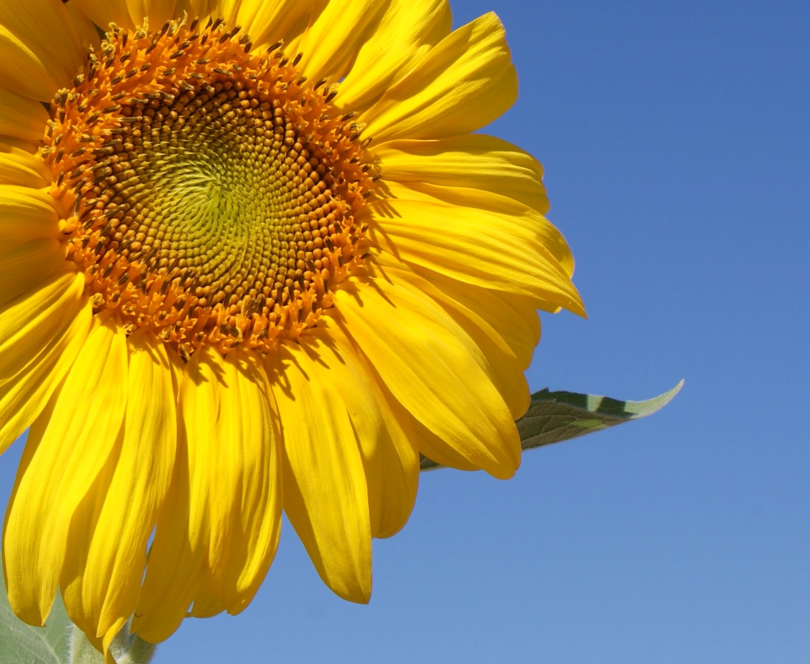 sunflower and blue sky bold colors drama seams